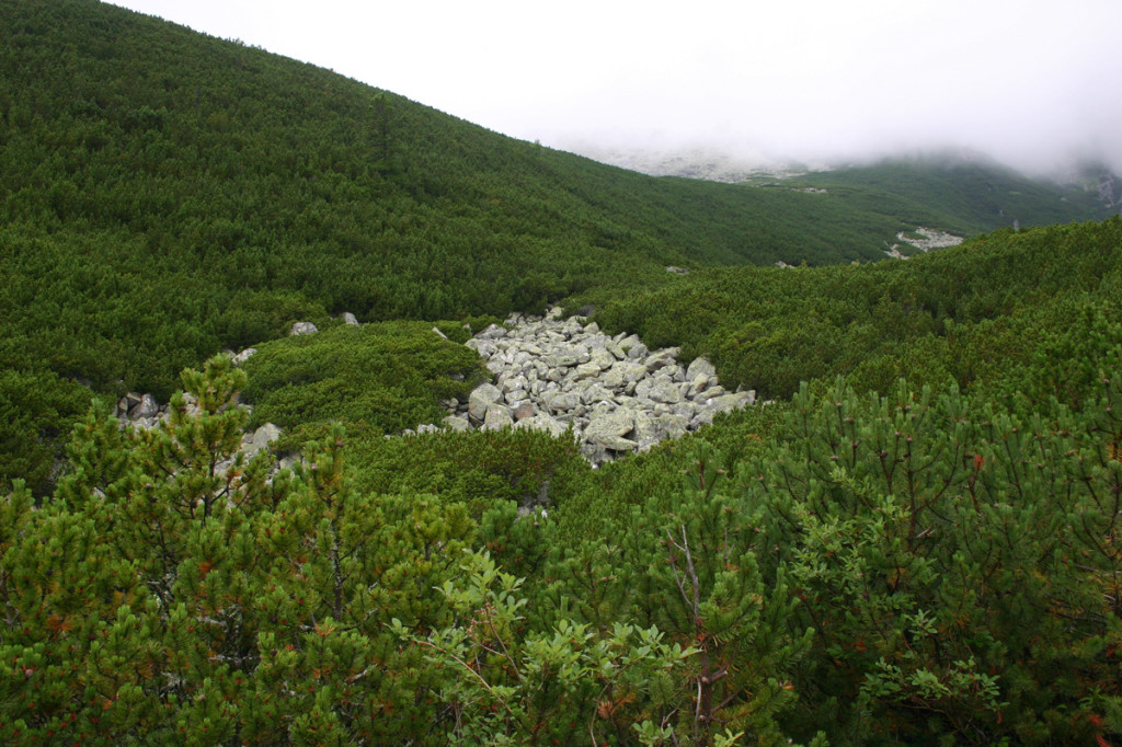 Velická dolina - kosodřevina
