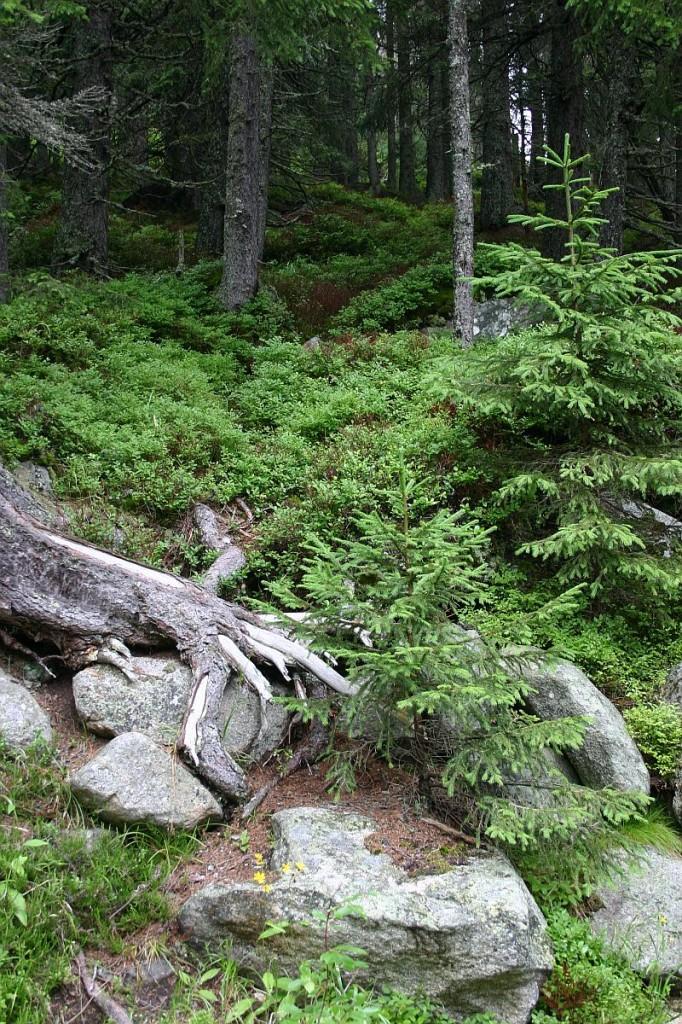 Les ve Velické dolině