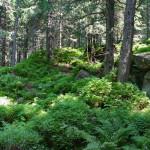 Les pod Zamkovského chatou