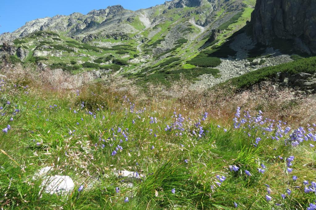 Zvonky na alpinské louce